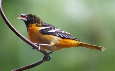 attracting a baltimore oriole