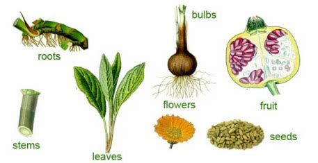 list of edible root edible plants the edible plants in