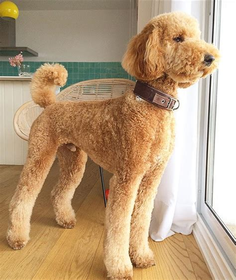 grooming standard poodles cuts apricot standard poodle cute dogs pinterest standard