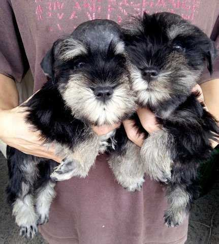 mini schnauzer puppies for adoption rottweiler puppies for adoption malaysia breeds picture