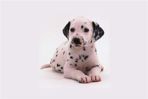dalmatian puppies for sale ma newborn photography mahindra new logo vector