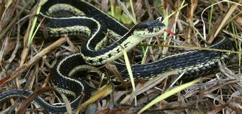 Garter Snake Foul Smell Black Rat Snakes Junee S Magic
