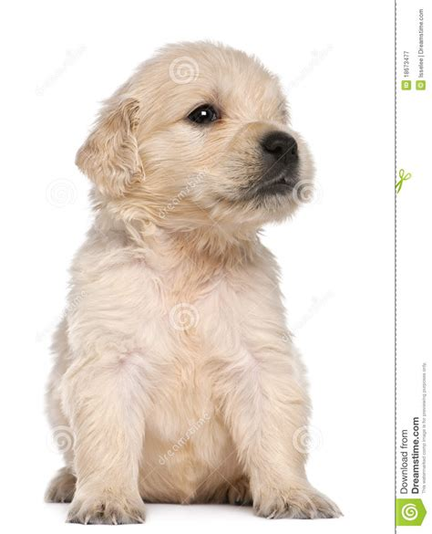 4 week golden retriever golden retriever puppy 4 weeks stock image image 18673477