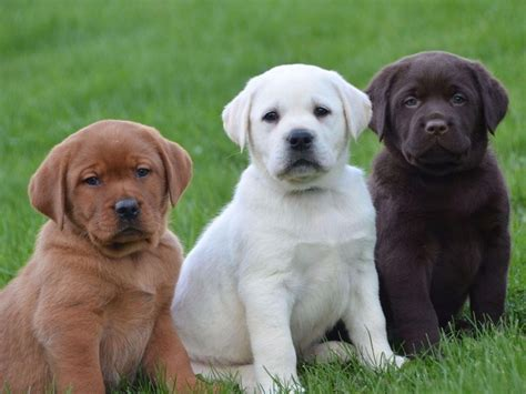 akc lab puppies for sale near me 2017 interesting akc labrador puppies for sale mix puppies