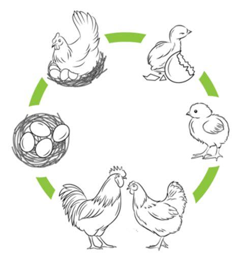 imagen para colrear del ciclo de vida conejo the gallery for gt ovoviviparos