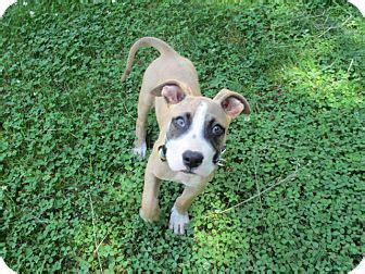 great dane puppies nj bullet adopted puppy bridge nj boxer great dane mix