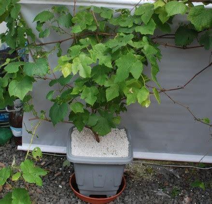 pianta di vite in vaso como plantar uva em vaso em casa