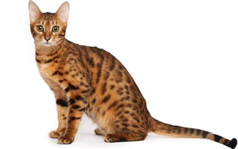 cat breed top 23 family friendly cat breeds cattime