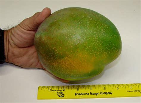 testi mango bombucha mangoes pomai test