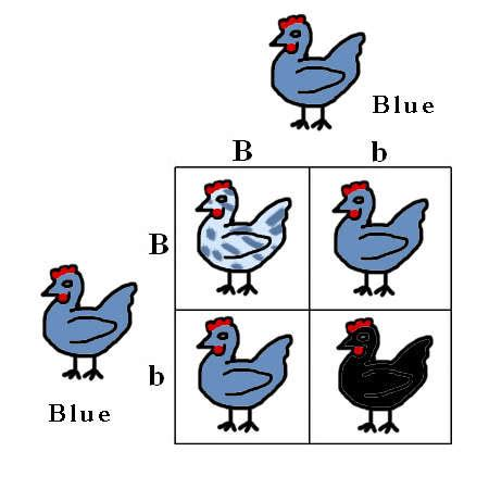 punnett square eye color punnett squares easy genetics backyard chickens