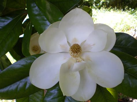 flowers in bloom southern magnolia redhead garden