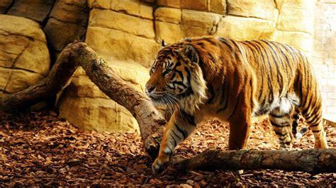 wallpaper laptop harimau wallpapers tiger wallpaper cave