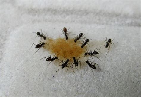 Big Black Ants In Kitchen by Black Ants Bites Black Ants With Wings Pictures Treat