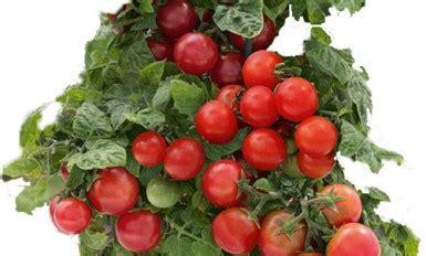 come potare i pomodori in vaso perch 232 gli ortaggi non hanno pi 249 il sapore di una volta