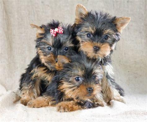 yorkie puppy breeders puppy dogs terrier puppies