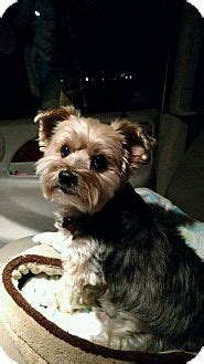 oregon yorkie rescue weezer adopted west or yorkie terrier