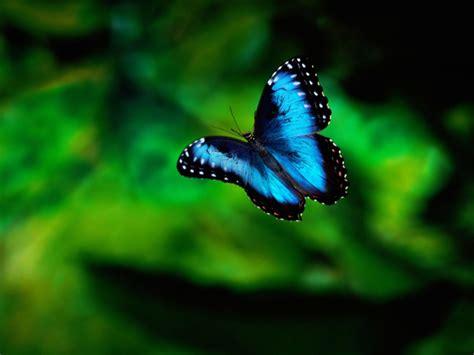 wallpaper of blue butterfly blue butterfly hd wallpaper animals wallpapers