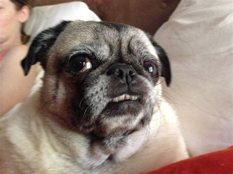 pug throwing up 1000 images about our pug babies on sweet beans and