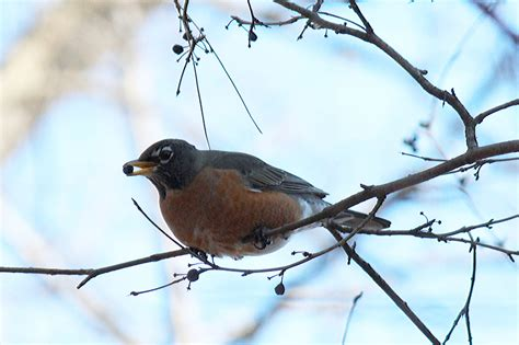 the robin in winter or why robins don t migrate back