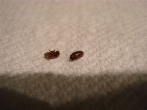identifying bed bugs small black flying bug identification