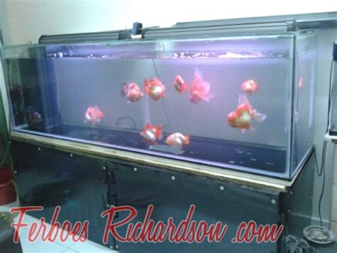 desain aquarium ikan koki inspirasi gallery aquarium besar ikan koki