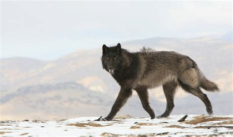 hybrid wolf puppies for sale wolf ambassadors education