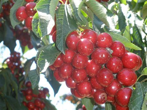 5 fruits of israel file pikiwiki israel 31446 cherry fruits jpg