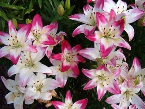 planting oriental and asiatic lilies garden bulb blog flower bulbs garden tips