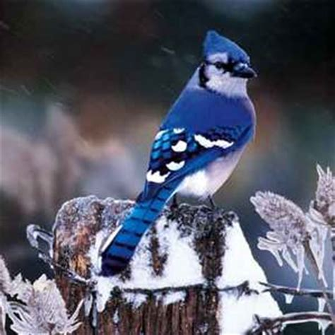 what blue jays can eat blue jay