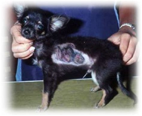 ringworm pictures on dogs ringworm pictures pets best rx