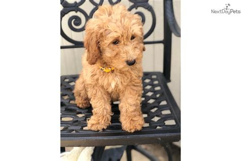 goldendoodle puppies for sale in dallas goldendoodle puppy for sale near dallas fort worth