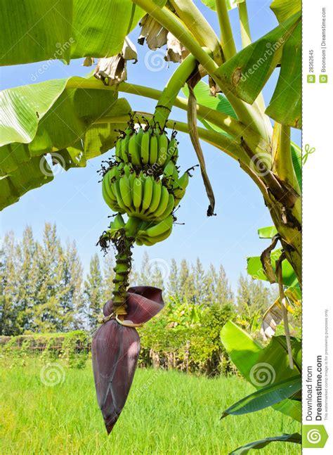 when do banana trees fruit banana tree with fruit royalty free stock photo image