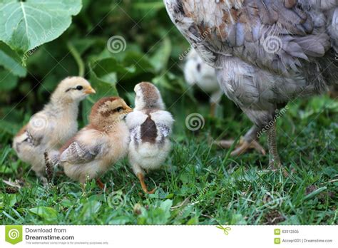 Backyard Chickens In The Environment Hen Rearing In Environment Rural Stock