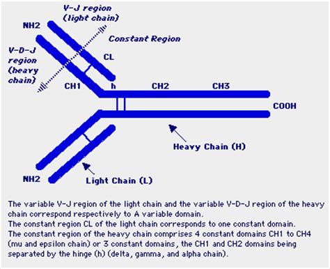 j protein immunoglobulins immunoglobulin genes concept of dna rearrangement