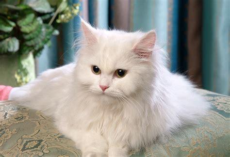 Sho Kucing Dan Harga 17 harga kucing anggora berdasarkan ras warna dan umurnya