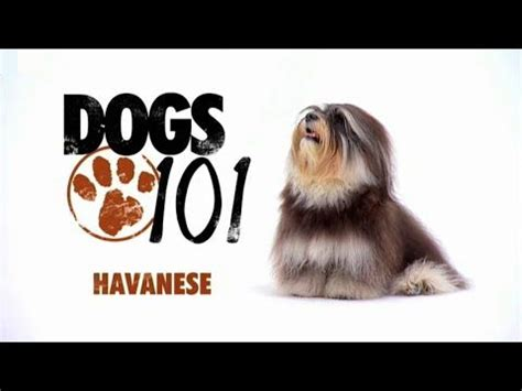 havanese dogs 101 dogs 101 havanese eng cool pets coton de tulear and we
