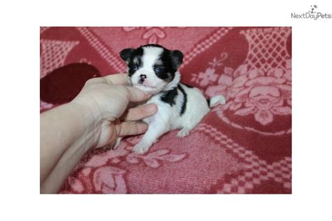 teacup yorkie for sale bay area teacup chihuahua for sale bay area rachael edwards