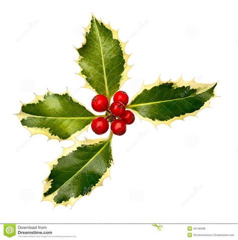 christmas leaf leaf corner stock image image of european common 46148499