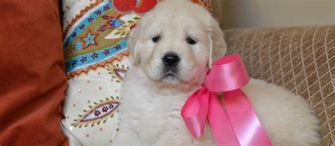 golden retriever puppies for sale in la white golden retriever puppies for sale louisiana dogs in our photo