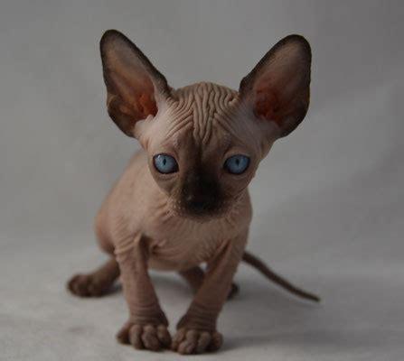 sphynx cats for sale sphynx kittens for sale indigo sphynx kittens canadian
