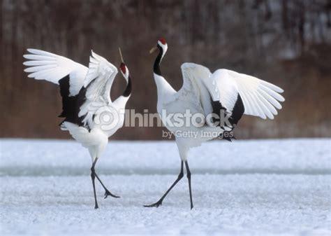 imagenes grullas japonesas grulla japonesa courtship baile foto de stock thinkstock