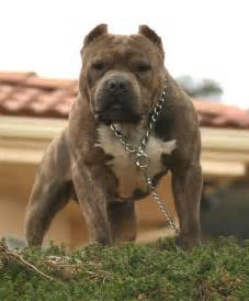 American Pit Bull Terrier Pictures | Wallpapers9