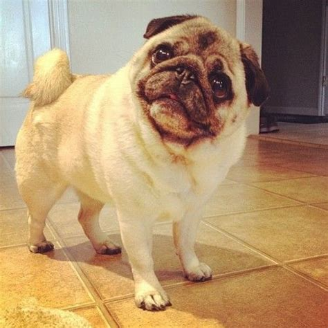 can pugs eat carrots 17 best ideas about pug bread on can dogs carrots puppy treats and