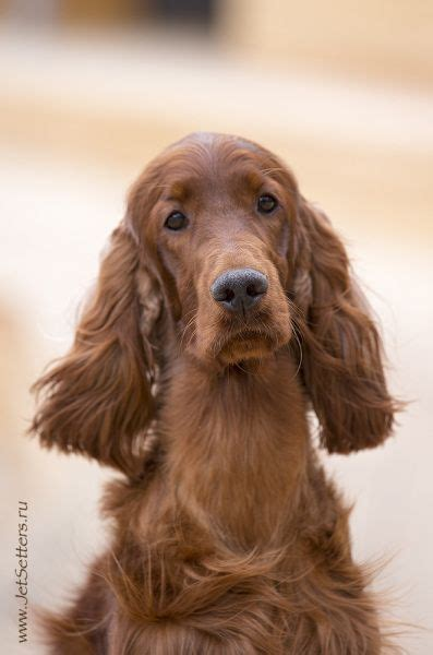red setter gun dog 126 best images about irish setter on pinterest irish