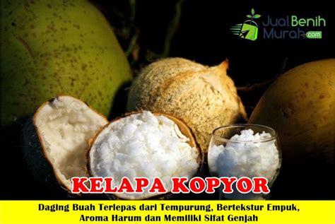 Mencari Bibit Kelapa Kopyor kelapa kopyor jualbenihmurah