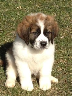 ozark mountain puppies bernese mountain great bernese bernese x gr pyr mix ozark mtn breeds picture