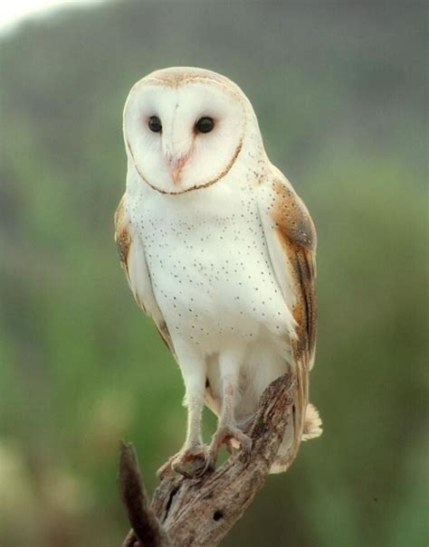 Can You Own A Barn Owl 17 best ideas about barn owls on owl photos beautiful owl and owls