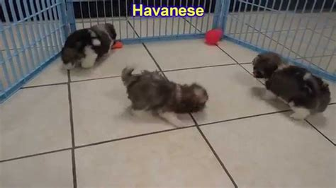 havanese puppies dogs for sale in columbus macon