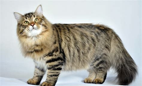 Biggest Domestic Cats   newhairstylesformen2014.com