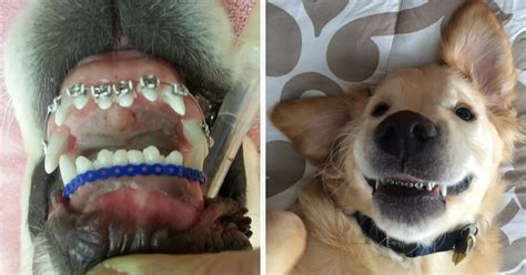 golden retriever puppy teeth this couldn t his so he got braces bored panda